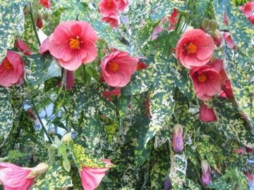 flor de abutilon