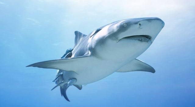 Shark fish the wildlife for How to shark fish