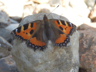 Tortoiseshell butterfly warming itself