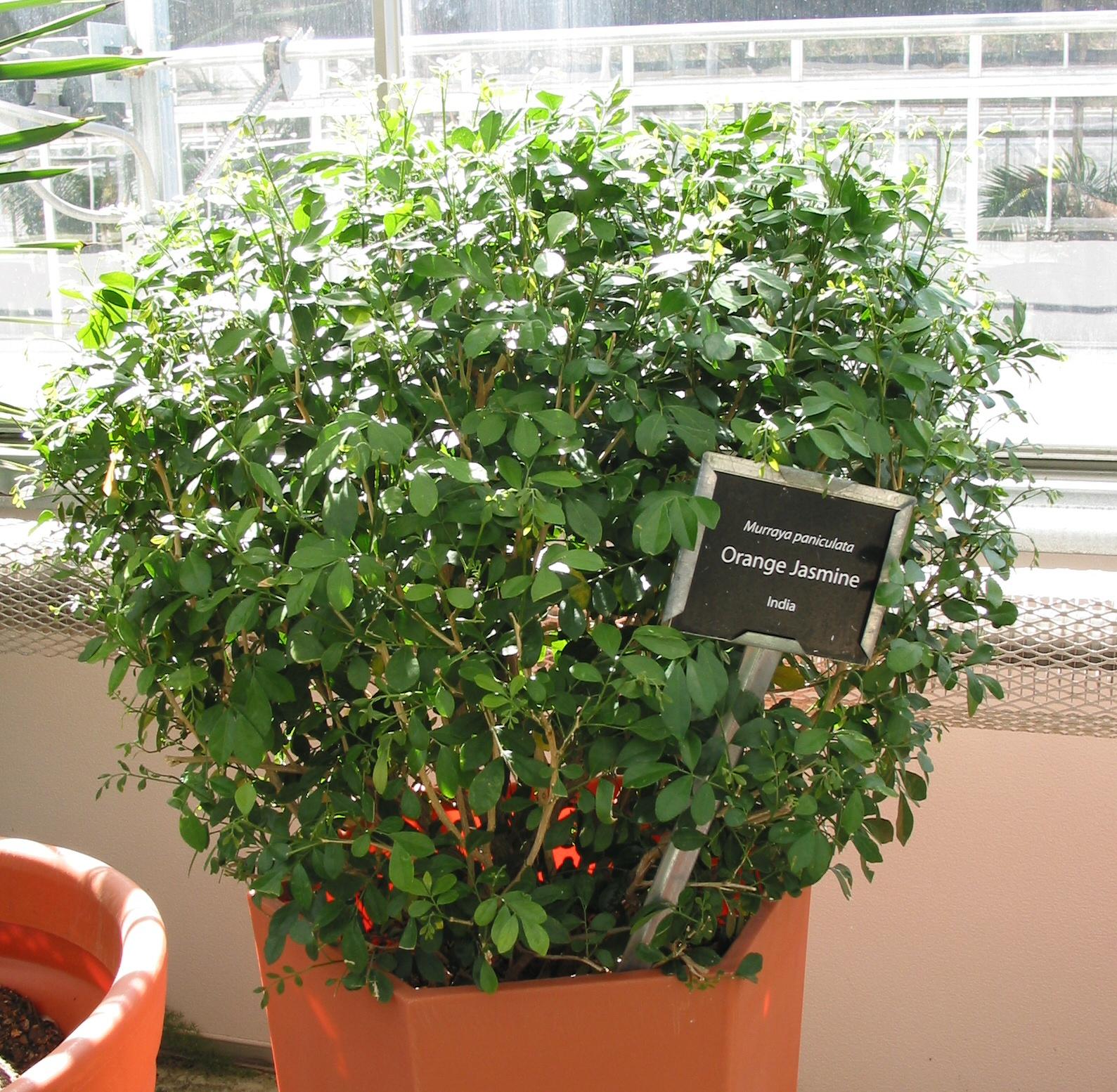 Dream Garden Brasil Murta De Cheiro Cerca Viva Ou Bonsai