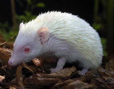Ourico Hedgehog albino