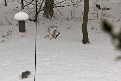 two gray squirrels and a hairy woodpecker