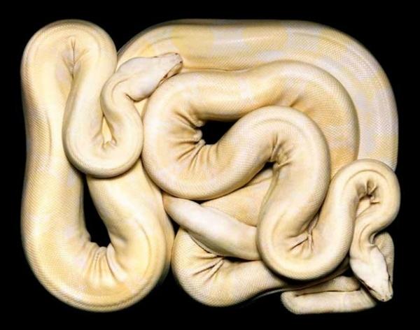 http://1.bp.blogspot.com/-M34Un4LiGuU/TpbPG1d8aoI/AAAAAAAAC_8/X2aPWiL-GQY/s1600/256703%252Cxcitefun-fascinating-snakes-10.jpg
