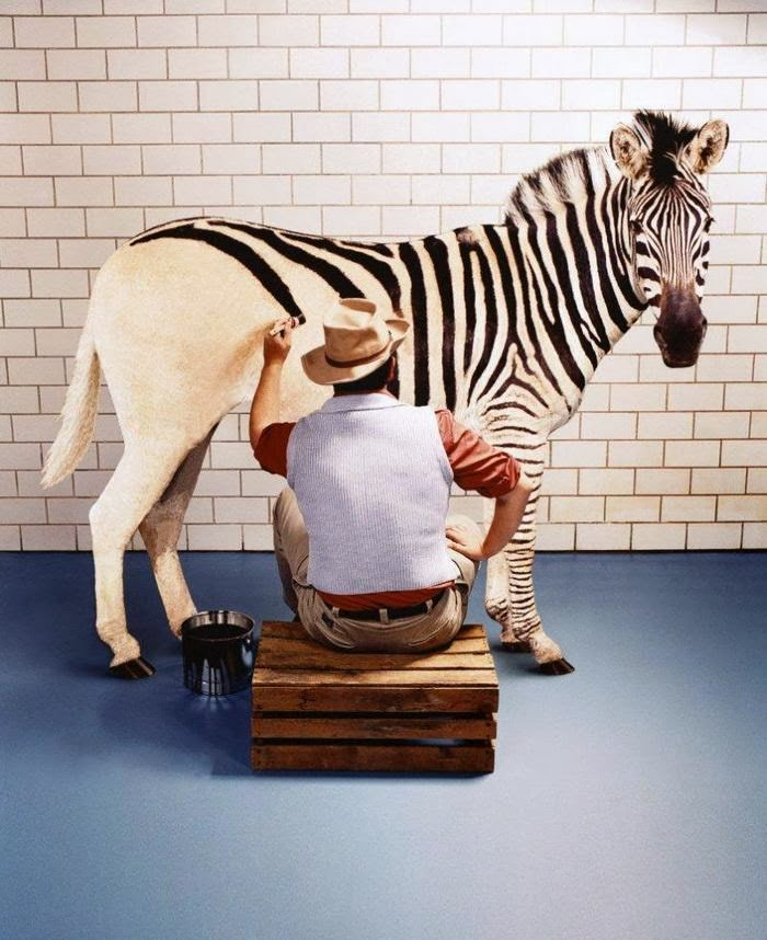 Zebra Funny Photo