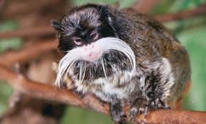 The Emperor Tamarin
