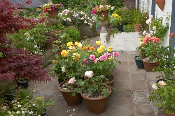 Cultivar rosales en la terraza guia de jardin for Decoracion de patios con macetas