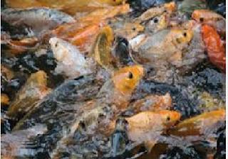 Cara Budidaya Dan Ternak Ikan Mas Terlengkap
