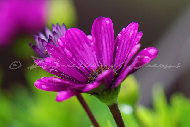 [Photography Tuesday] Purple Rain