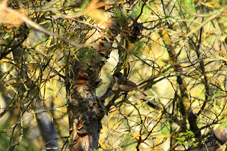 Curruca mirlona. Sierra de Estepa
