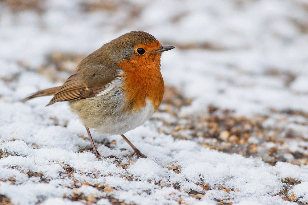 Robin - Manor Farm, Milton Keynes