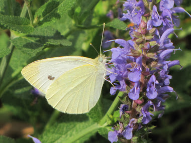 White Cabbage Butterfly on Russian Sage