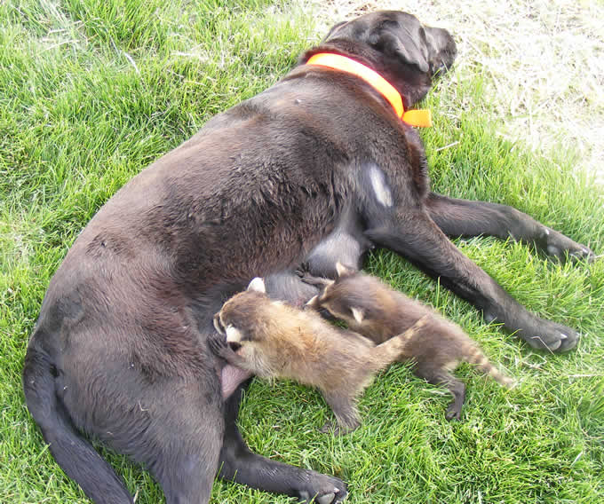 Cadela amamentando dois guaxinins
