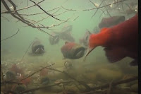 Documental, Salmones, la marea plateada