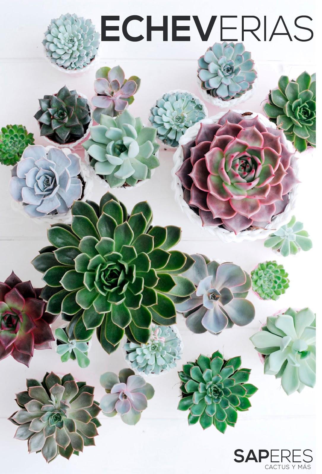 Echeverias saperes for Catalogo de flores de jardin