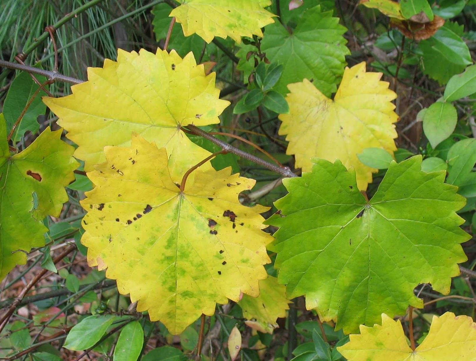 Using Georgia Native Plants: Native Fall Foliage - Yellow