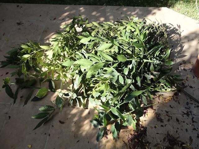 LAUREL (Laurus nobilis). Ramas de laurel recién cortadas del árbol..