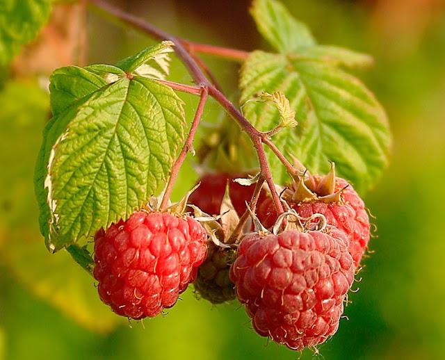 فوائد التوت،أنواع التوت،التوت البري،الفراولة،فوائد الفواكه،التغذية السليمة, انواع التوت, فواكه مفيدة