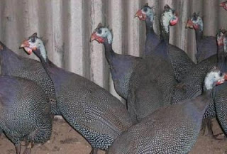 Ayam mutaiara dan cara memeliharanya