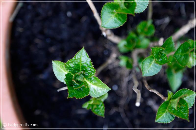 Hydrangea shoots