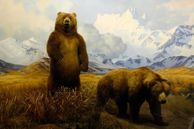 diorama, osos, museo americano historia natural, foto, Lucas Uberti-bona
