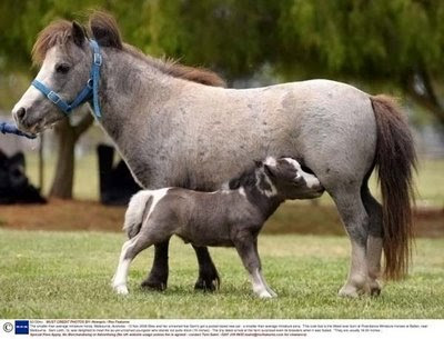 the smallest in the world horse  The_smallest_%2BHorse_in_the_%2Bworld%2B%...