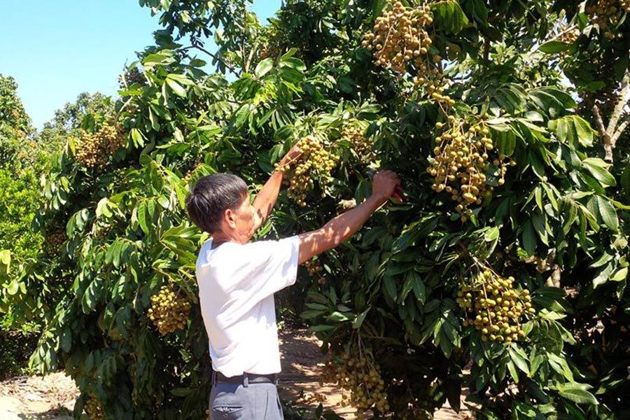 Gia Lai: Nhãn lồng Hưng Yên ngon ngọt trên đất Đak Pơ