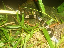 Banded Krait..