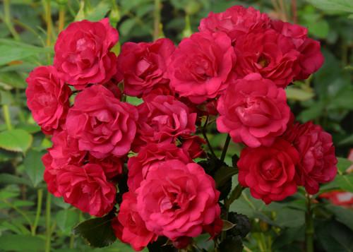 Gartnerfreude rose сорт розы фото