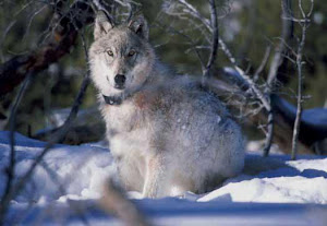Protecting Yellowstone Wolves