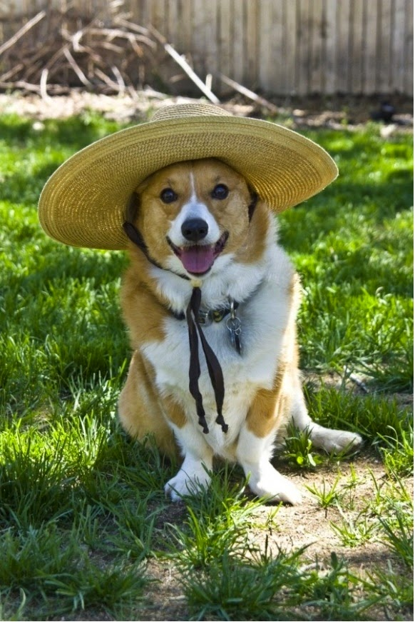 Cute Corgii dog wearing hat