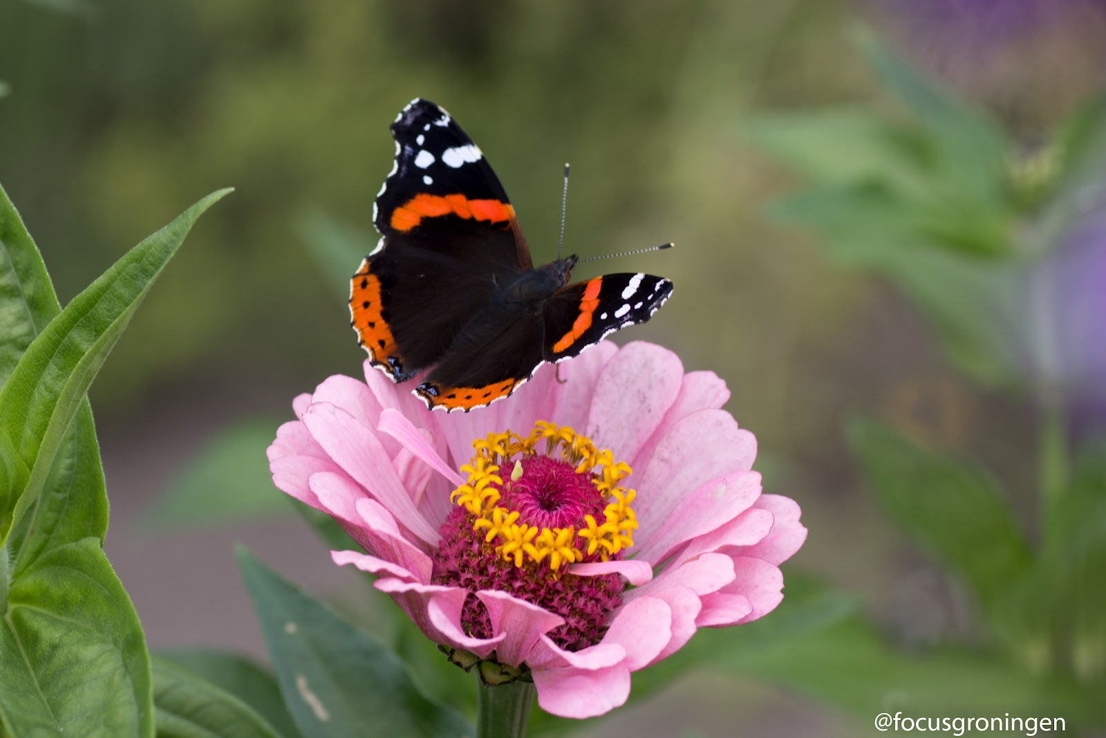 Hoe vlinders lokken?