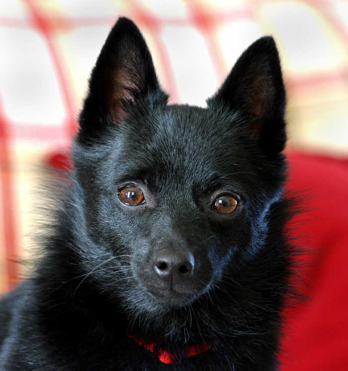 Schipperke Chow Mix Her history is black chow.