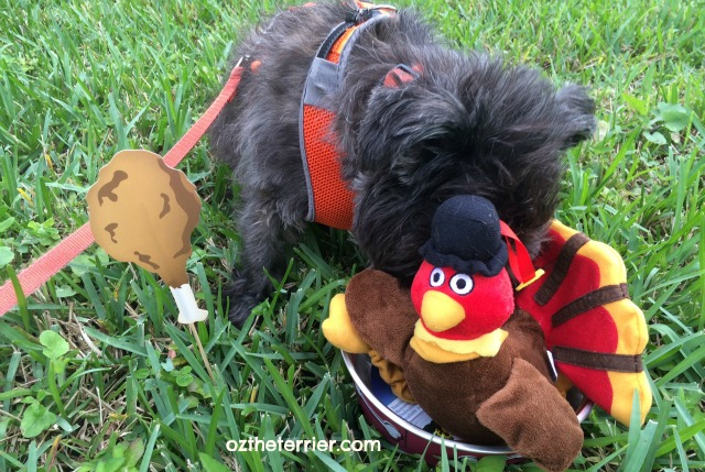 Oz the Terrier says gobble until you wobble this Thanksgiving