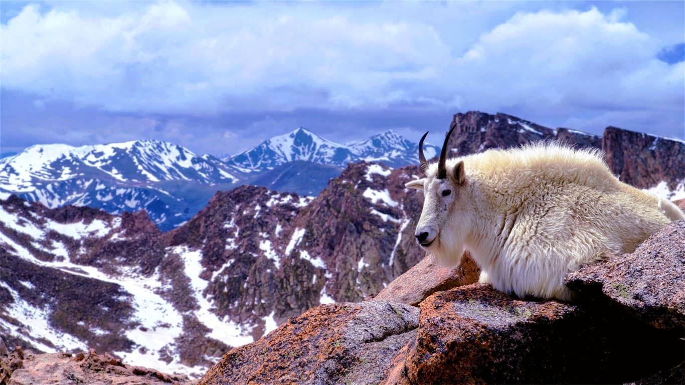 Mountain goat on Mount Evans, near Denver, Colorado (© Corbis Motion) 101