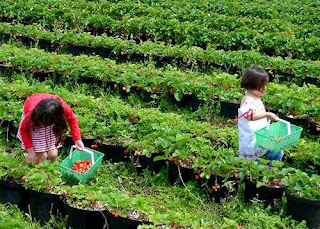 Kebun Strawbery Parongpong