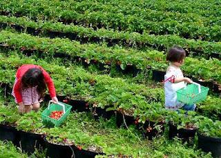 Kebun Strawbery Parongpong