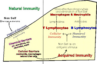 Sự hình thành miễn dịch. Ảnh minh họa.