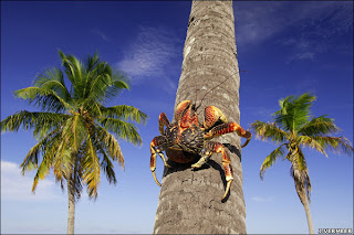 Caranguejo dos Coqueiros - TV Selvagem