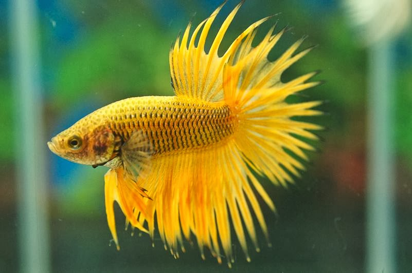Pics For > White Crowntail Betta