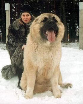 Excitement N Net: Gigantic Dogs - Caucasian Shepherd Dog