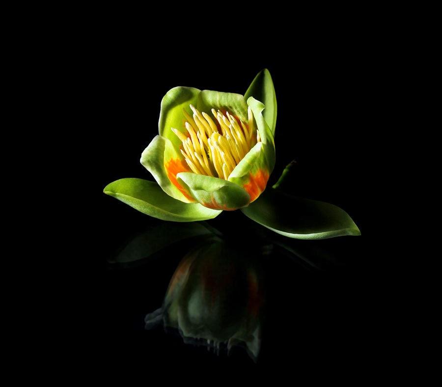 http://tomazklemensak.deviantart.com/art/Liriodendron-tulipifera-337735920