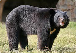 Asiatic Black Bear (Beruang Hitam Asia)