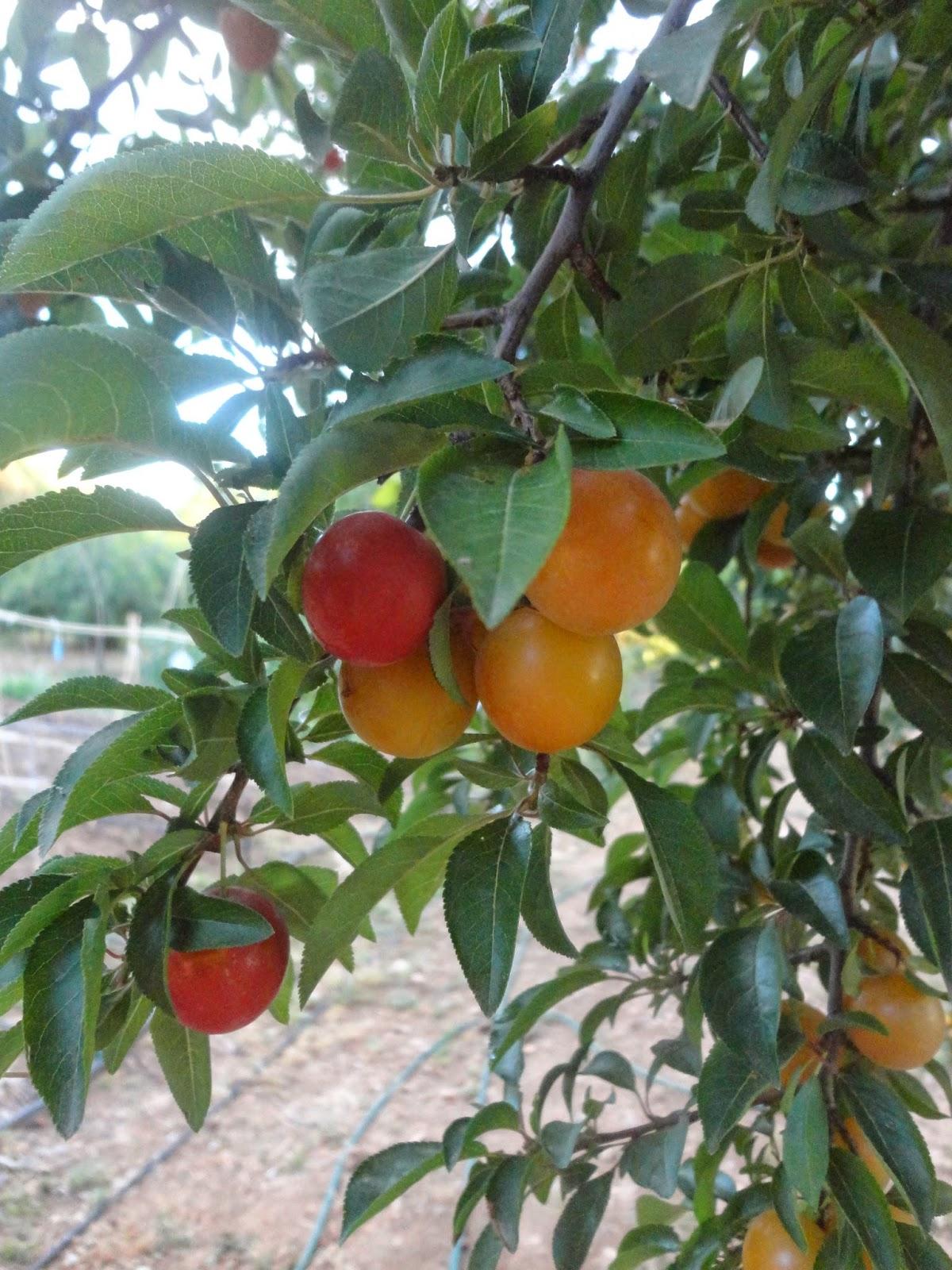 Ciruelas del prunus cerasifera