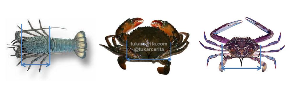 Cara mengukur lobster, kepiting dan rajungan