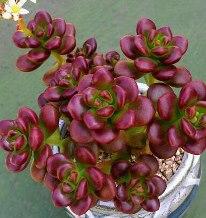 Sedum Oreganum via Eun-Jeong Yang