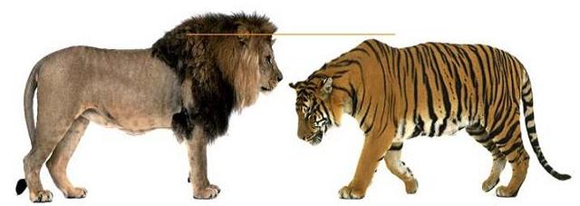 tigre-leão-comparação