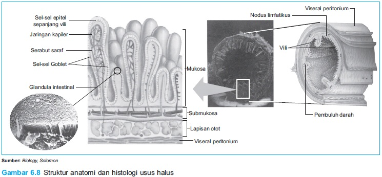 Struktur anatomi dan histologi usus halus