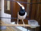 Burung Jalak Suren yang unik