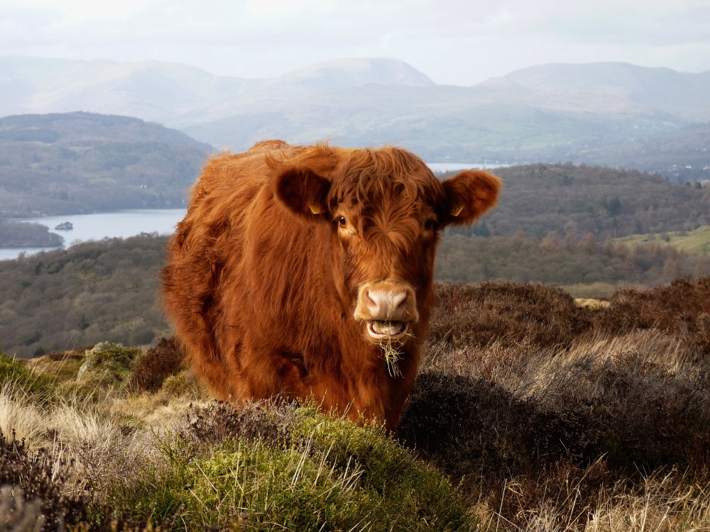 Cumbria wildscapes luing cow on fell luing cow on fell publicscrutiny Images