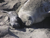 New Born Northern Elephant Seal Pup